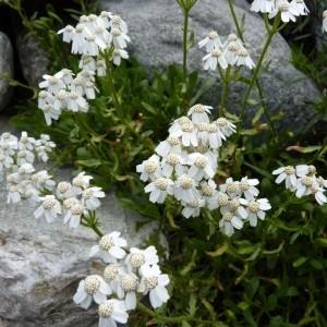 Photographie n°56961 du taxon Achillea erba-rotta All.