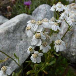Photographie n°56962 du taxon Achillea erba-rotta All.
