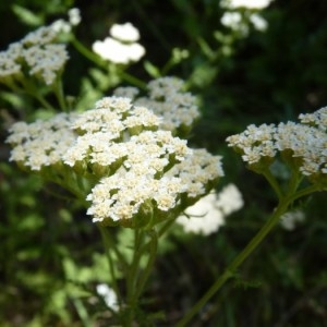 Achillea nobilis L. (Achillée noble)