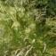 Mathieu MENAND - Achnatherum calamagrostis (L.) P.Beauv. [1812]