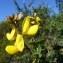 Mathieu MENAND - Adenocarpus complicatus subsp. lainzii Castrov.
