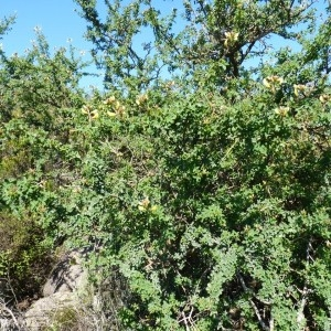 Photographie n°56981 du taxon Adenocarpus complicatus subsp. lainzii Castrov.