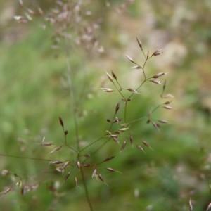 - Agrostis canina L. [1753]