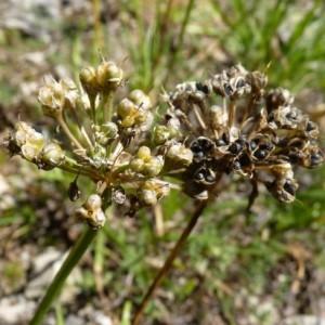 Photographie n°57012 du taxon Allium lusitanicum Lam. [1783]