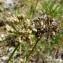 Mathieu MENAND - Allium lusitanicum Lam. [1783]