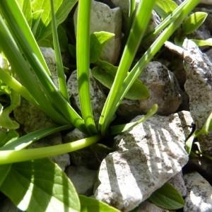 Photographie n°57015 du taxon Allium narcissiflorum Vill.