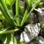 Mathieu MENAND - Allium narcissiflorum Vill.