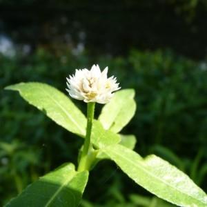 Alternanthera philoxeroides (Mart.) Griseb. (Alligator Weed)
