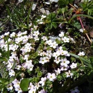 - Androsace alpina (L.) Lam. [1779]
