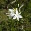 Mathieu MENAND - Anthericum ramosum L.