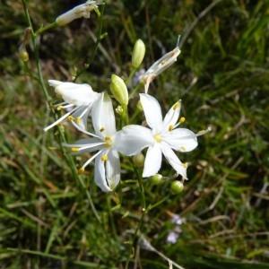 - Anthericum ramosum L.
