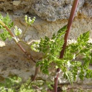 Photographie n°57075 du taxon Anthriscus caucalis M.Bieb.