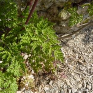 Photographie n°57076 du taxon Anthriscus caucalis M.Bieb.