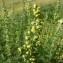 Mathieu MENAND - Artemisia chamaemelifolia Vill. [1779]