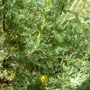 Photographie n°57109 du taxon Artemisia chamaemelifolia Vill. [1779]
