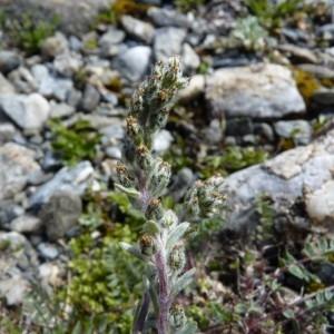 Photographie n°57115 du taxon Artemisia genipi Weber [1775]