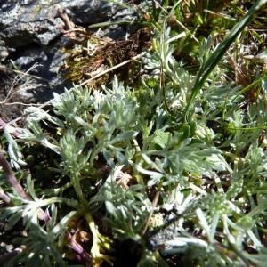 Photographie n°57117 du taxon Artemisia glacialis L.