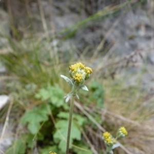Photographie n°57118 du taxon Artemisia glacialis L.