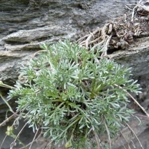 - Artemisia glacialis L.