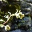 Mathieu MENAND - Artemisia glacialis L.