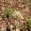 Mathieu MENAND - Astragalus echinatus Murray