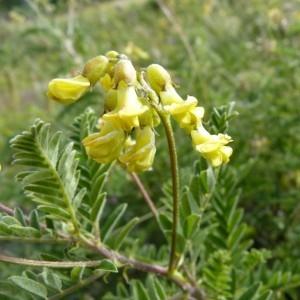 Photographie n°57163 du taxon Astragalus penduliflorus Lam. [1779]