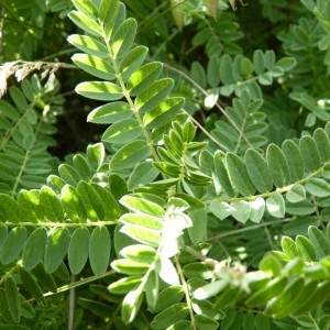 Photographie n°57165 du taxon Astragalus penduliflorus Lam. [1779]
