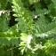 Mathieu MENAND - Astragalus penduliflorus Lam. [1779]