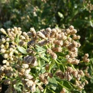 Photographie n°57190 du taxon Baccharis halimifolia L.