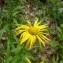 Mathieu MENAND - Buphthalmum salicifolium L. [1753]