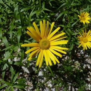 Photographie n°57242 du taxon Buphthalmum salicifolium L. [1753]