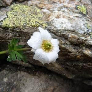 Photographie n°57266 du taxon Callianthemum coriandrifolium Rchb. [1832]