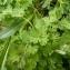 Mathieu MENAND - Callianthemum coriandrifolium Rchb. [1832]