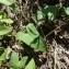 Mathieu MENAND - Calystegia sepium (L.) R.Br.