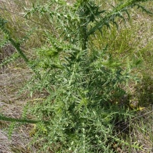 - Carduus crispus subsp. multiflorus (Gaudin) Gremli [1878]