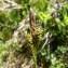 Mathieu MENAND - Carex caryophyllea Latourr. [1785]