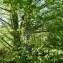 Mathieu MENAND - Carpinus betulus L.