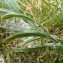 Mathieu MENAND - Centaurea triumfetti subsp. axillaris (Celak.) Dostál [1931]