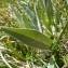 Mathieu MENAND - Centaurea uniflora Turra