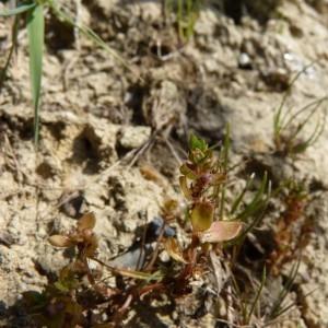 Photographie n°57367 du taxon Centunculus minimus L.