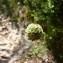 Mathieu MENAND - Cephalaria leucantha (L.) Schrad. ex Roem. & Schult.
