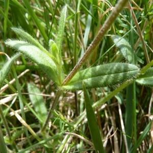 Photographie n°57385 du taxon Cerastium fontanum subsp. vulgare (Hartm.) Greuter & Burdet [1982]