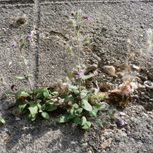 Photographie n°57403 du taxon Chaenorhinum rubrifolium (Robill. & Castagne ex DC.) Fourr. [1869]