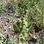 Mathieu MENAND - Chenopodium vulvaria L.