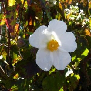 Cistus populifolius L. (Ciste à feuilles de peuplier)