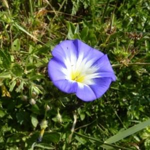 - Convolvulus tricolor L.