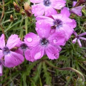 Photographie n°57528 du taxon Dianthus pavonius Tausch