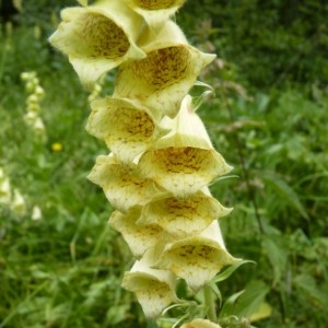 Photographie n°57534 du taxon Digitalis grandiflora Mill. [1768]