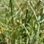 Mathieu MENAND - Dorycnium herbaceum subsp. gracile (Jord.) Nyman [1878]