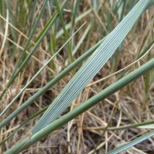 Elytrigia acuta (DC.) Tzvelev (Chiendent du littoral)